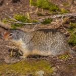 2169 Columbian Ground Squirrel (Spermophilus columbianus)