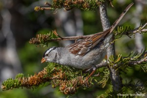 2170 White-crowned Sparrow (Zonotrichia leucophrys)