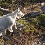2171 Young Mountain Goat (Oreamnos americanus)