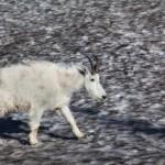 2172 Young Mountain Goat (Oreamnos americanus)