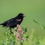 2178 Red-winged Blackbird (Agelaius phoeniceus)