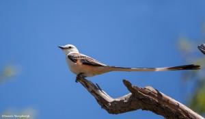 2179 Scissor-tailed Flycatcher (Tyrannus forficatus)