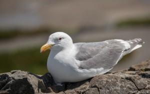 2180 Herring Gull (Larus argentatus)