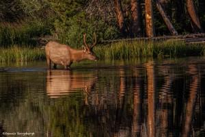 2185 Bull Elk, Sunrise