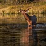 2187 Bull Elk, Sunrise