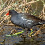 2195 Common Moorhen (Gallinula chloropus)