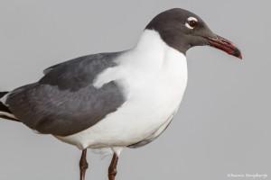 2197 Laughing Gull (Leucophaeus atricilla)