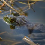 2201 Common Bullfrog