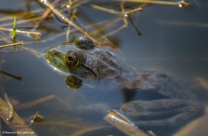 2201 Common Bullfrog