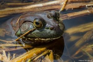 2202 Common Bullfrog