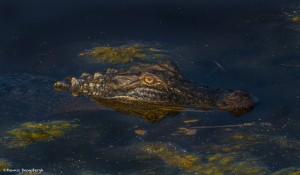 2205 Alligator (Alligator mississippiensis)