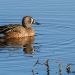 2206 Blue-winged Teal (Anas discors)