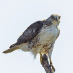 2211 Immature Red-tailed Hawk
