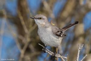 2214 Northern Mockingbird (Mimus polyglottos)