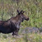 2224 Bull Moose
