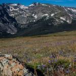 2229 Tundra Wildflowers