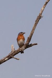 2238 Eastern Bluebird (Sialia sialis)