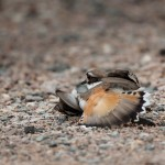 2239 Female Killdeer (Charadrius vociferus), Feigning Injury to Protect Nest