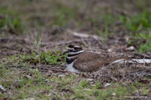 2241 Nesting Killdeer (Charadrius vociferus)
