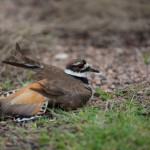 2242 Female Killdeer (Charadrius vociferus), Feigning Injury to Protect Nest