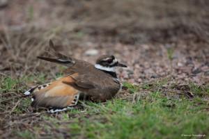 2242 Female Killdeer (Charadrius vociferus), Feigning Injury to Protect Nest