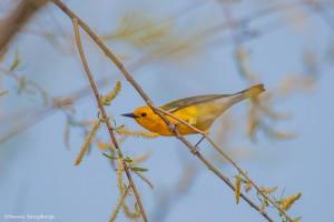 2244 Prothonotary Warbler (Protonotaria citrea)