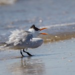 2326 Royal Tern (Thalasseus maximus)