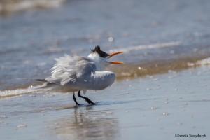 2326 Royal Tern (Thalasseus maximus)