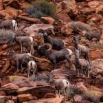 2251 Bighorn sheep (Ovis canadensis)