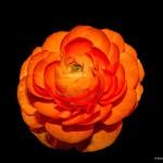 2272 Camellia