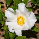 2274 White Poppy