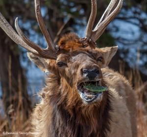 2301 Bull Elk Eating Prickly Pear Cactus (Opuntia)