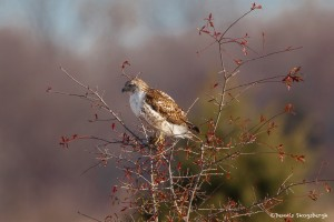 2310 Immature Red-tailed Hawk (Buteo jamaicensis)