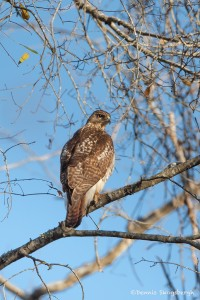 2311 Red-tailed Hawk (Buteo jamaicensis)