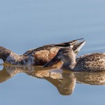 2314 Northern Shovelers, Male and Female