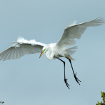 3316 Great Egret (Ardea alba), Florida