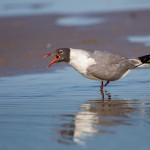 2316 Laughing Gull (Leukophaeus atricilla)