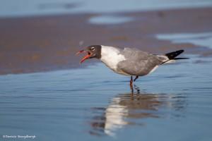2316 Laughing Gull (Leukophaeus atricilla)