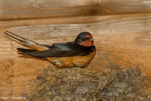 2318 Female, Breeding Barn Swallow (Hirundo rustica)