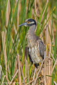 2319 Yellow-crowned Night Heron (Nyctanassa violacea)