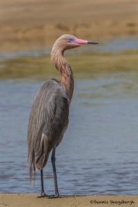 2323 Reddish Egret (Egretta rufescens)