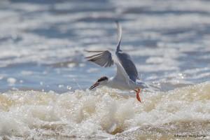 2324 Forster's Tern (Sterna forsteri)