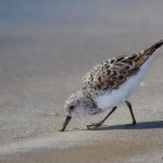 2325 Sanderling (Calidris alba)