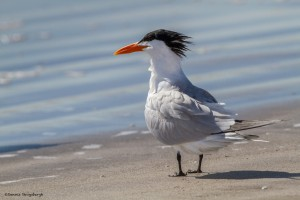 2330 Royal Tern (Thalasseus maximus)