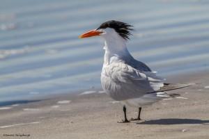 2330 Royal Tern (Thalasseus maximus)