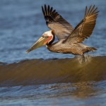 2331 Brown Pelican (Pelicanus occidentalis)