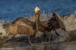 2332 Brown Pelican (Pelicanus occidentalis)