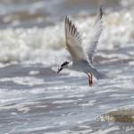 2336 Forster's Tern (Sterna forsteri)