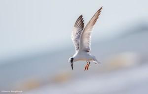 2337 Forster's Tern (Sterna forsteri)