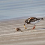 2338 Female, Breeding Ruddy Turnstone (Arenaria interpres)